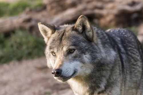 미 캘리포니아서 멸종위기 늑대, 죽은 채 발견