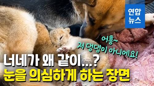 [영상] 버려진 사자 새끼 돌보는 기특한 개…사자 엄마 됐어요