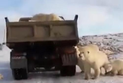 북극곰의 슬픈 현실 먹이 구하려 쓰레기 트럭에 구걸