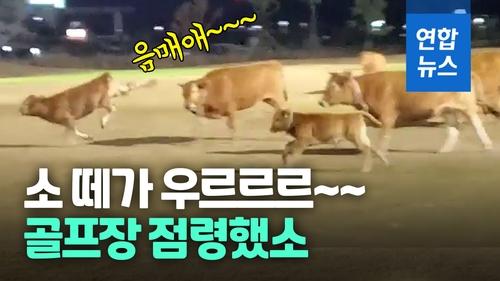 [영상] 14번 그린에 소들이 놀고 있어요…골프장 난입한 소 10여 마리