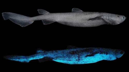 뉴질랜드 근해서 대형 발광 상어 발견