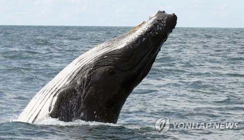 혹등고래가 삼켰다가 내뱉어 목숨 건진 미국 어부