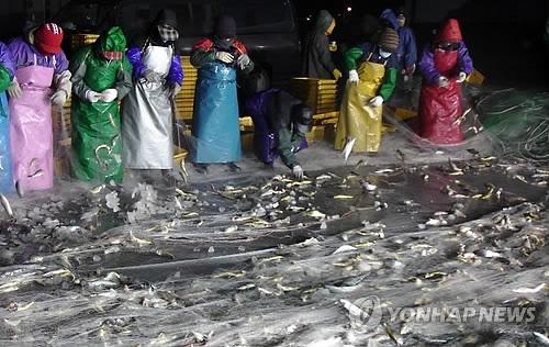 资料图片:济州渔民收获小黄鱼(韩联社)