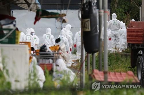 韩政府决定购买扑杀家禽以防禽流感扩散 - 2