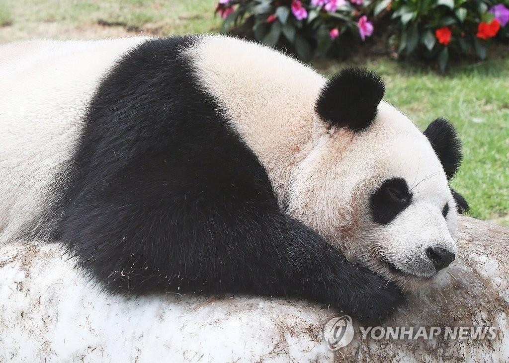 资料图片:爱宝乐园动物园里,爱宝在人工冰冻石头上乘凉。(韩联社)