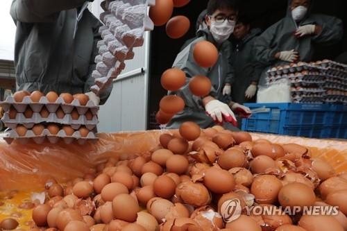 8月16日下午,在韩国京畿道一处养殖场内,防疫局正在销毁问题鸡蛋。(韩联社)