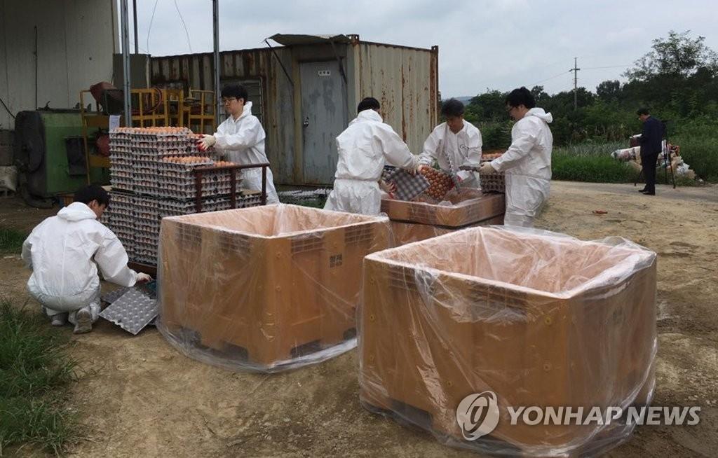 8月18日,在庆州,庆州市政府公务员正在销毁当地的问题鸡蛋。(韩联社)