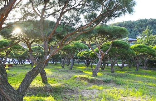 在杨平郡玉泉面的一条街道上,美丽的松树英姿挺拔。(韩联社记者成演在)