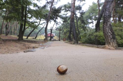 落在西五陵内的栗子(韩联社记者成演在摄)