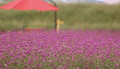 千日红花色各异赏心悦目。(韩联社记者成演在摄)