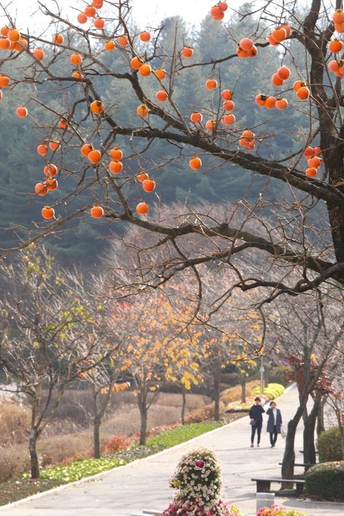 柿子树挂满了熟透的果实。(韩联社记者成演在摄)