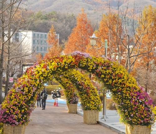 盛开菊花构成的金色隧道(韩联社记者成演在摄)