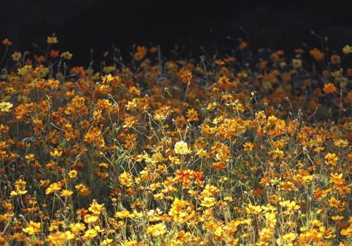 栗谷树木园入口处的橙色大波斯菊(韩联社记者成演在摄)