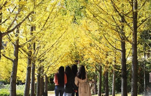 游客们在爱宝乐园黄灿灿的银杏树下赏秋。(韩联社)