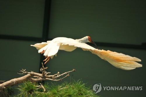 韩国40只人工繁殖朱鹮野化放归