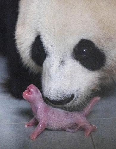 熊猫母女 韩联社/爱宝乐园供图(图片严禁转载复制)