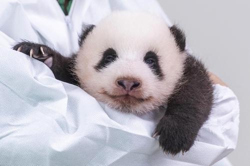 韩国爱宝乐园为熊猫宝宝公开征名