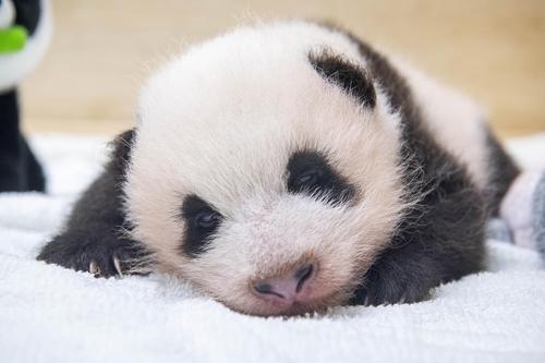 爱宝乐园熊猫宝宝 爱宝乐园供图(图片严禁转载复制)