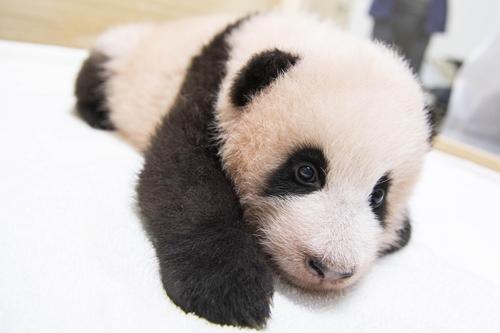 """首只在韩出生大熊猫取名""""福宝"""""""