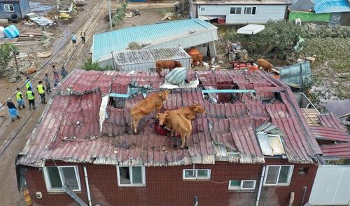 资料图片:8月9日,牛为躲避暴雨爬上屋顶。 韩联社