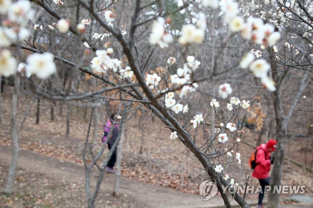 资料图片:庆尚北道浦项市梅花盛开,摄于2020年1月29日。 韩联社