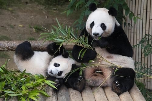 爱宝乐园办熊猫周活动为福宝一周岁庆生