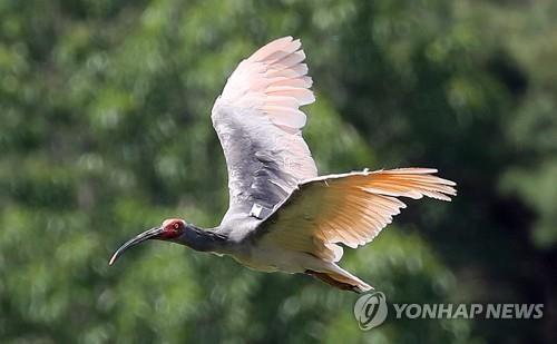 朱鹮振翅高飞。 韩联社