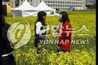 第26届济州油菜花节28日开幕