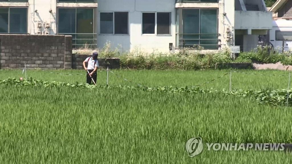 报告:朝鲜今年粮食产量同比减少5.2%