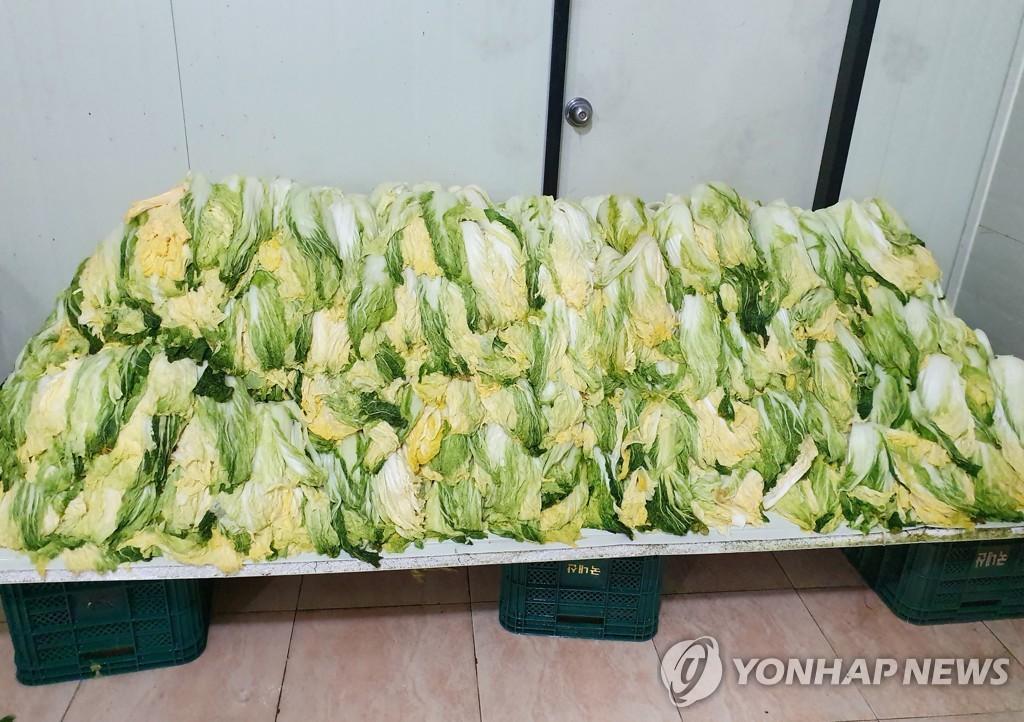 资料图片:韩国泡菜主原料盐渍白菜 韩联社