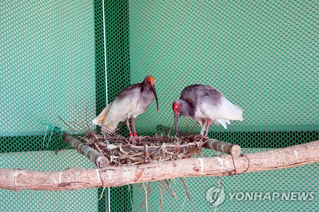 中国赠给韩国的朱鹮繁殖至57只