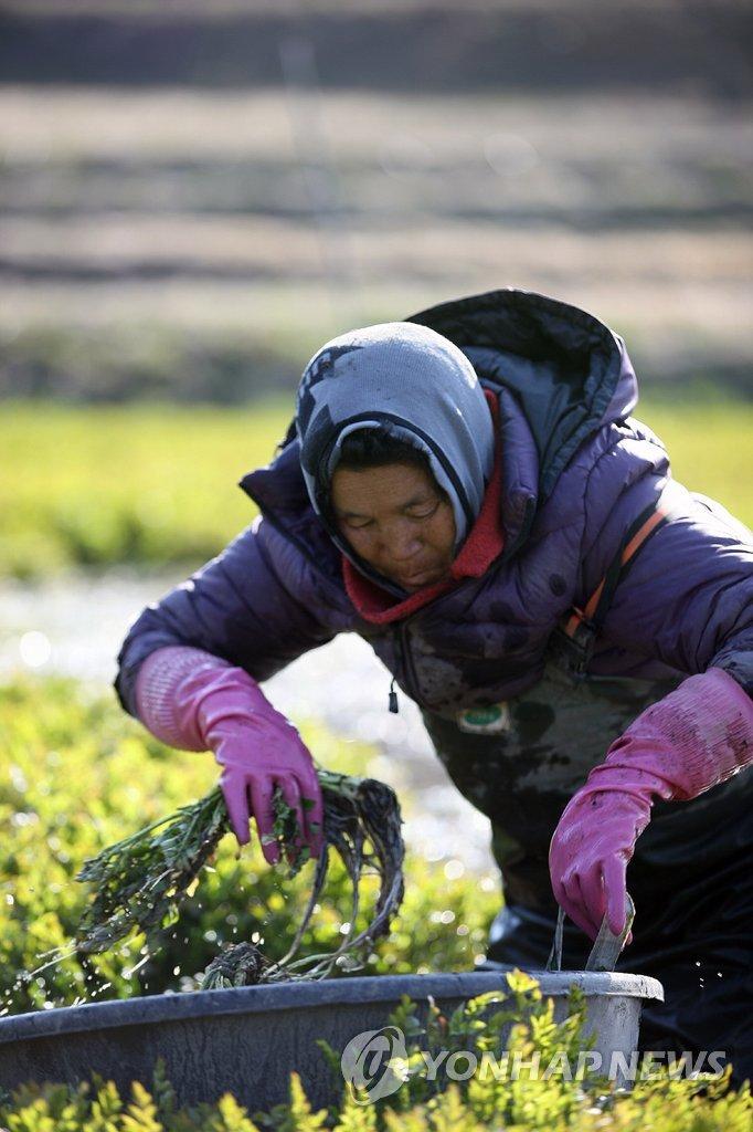 春天到了,水芹菜丰收了