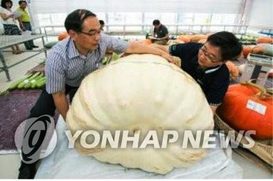 245公斤重的大南瓜