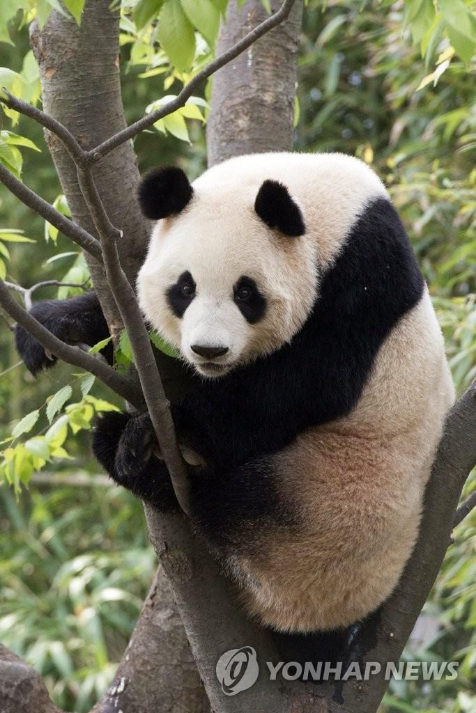 """来韩中国大熊猫""""爱宝"""""""
