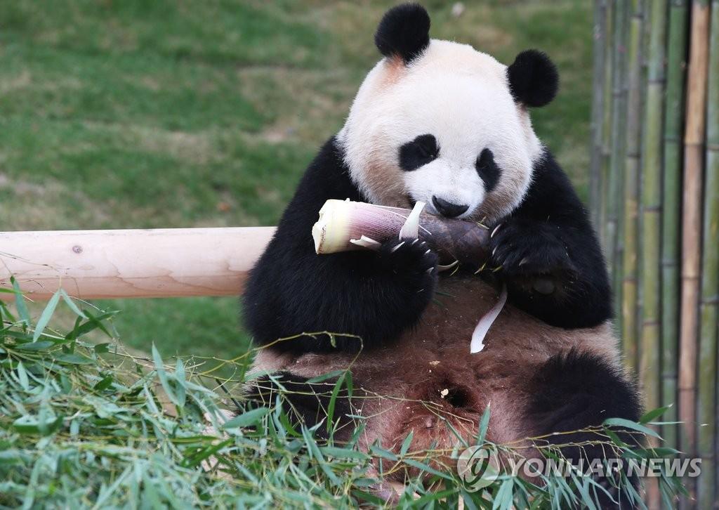 旅韩中国大熊猫今向公众开放
