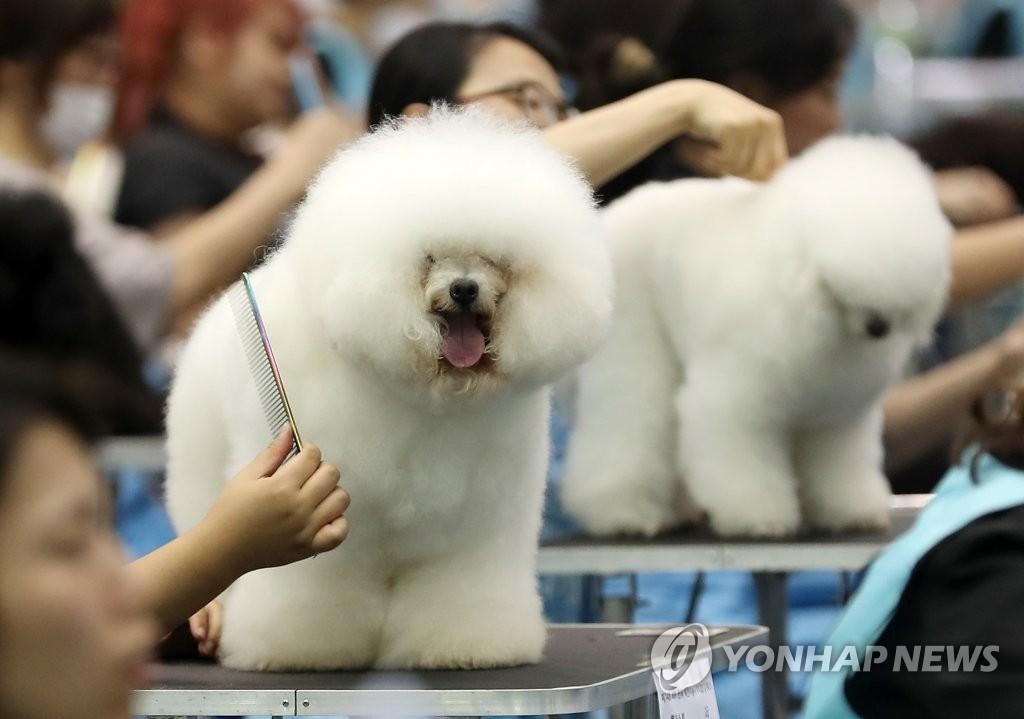 宠物犬比美