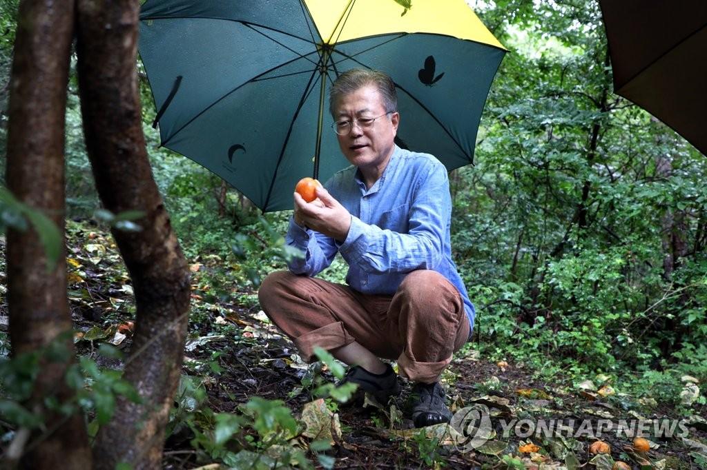 9月29日上午,在庆尚南道梁山市,韩国总统文在寅在私邸后山林中冒雨散步时蹲下拾起地上的果实。(韩联社/青瓦台供图)