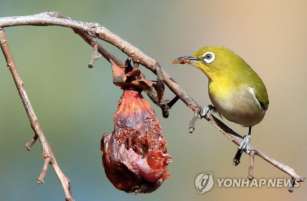 萌鸟吃柿图