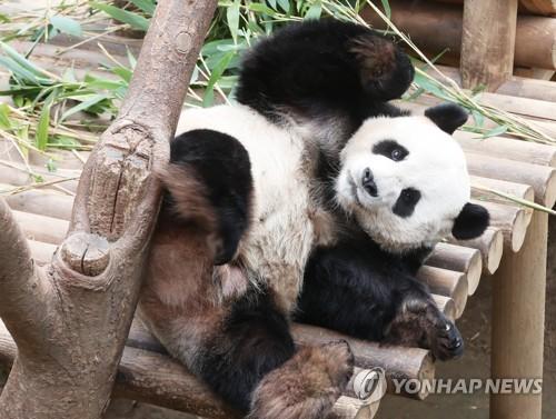 熊猫伸懒腰