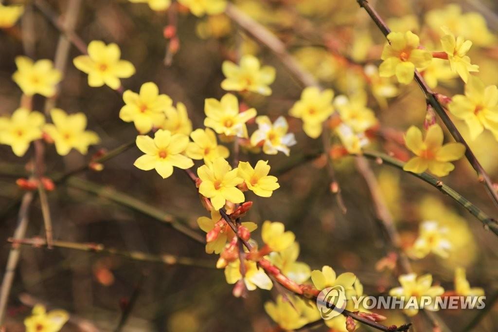 迎春花盛开