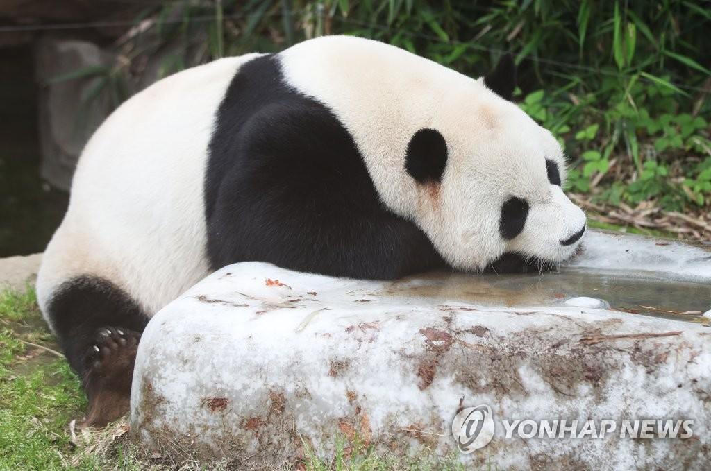 大熊猫进入纳凉模式