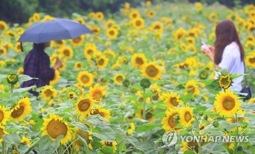 初夏向日葵