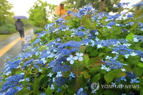 济州进入梅雨期