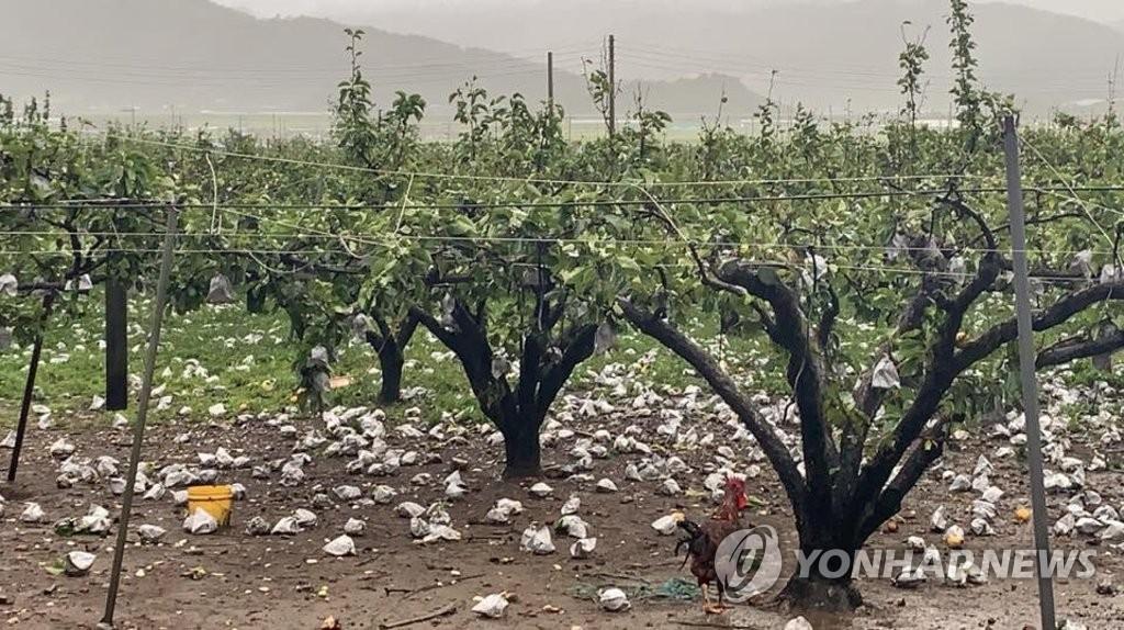 台风过后果园受灾 韩联社/读者供图(图片严禁转载复制)
