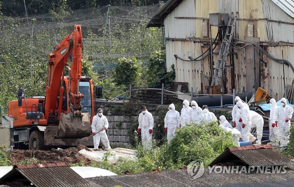 韩国严控非洲猪瘟已扑杀六万头生猪