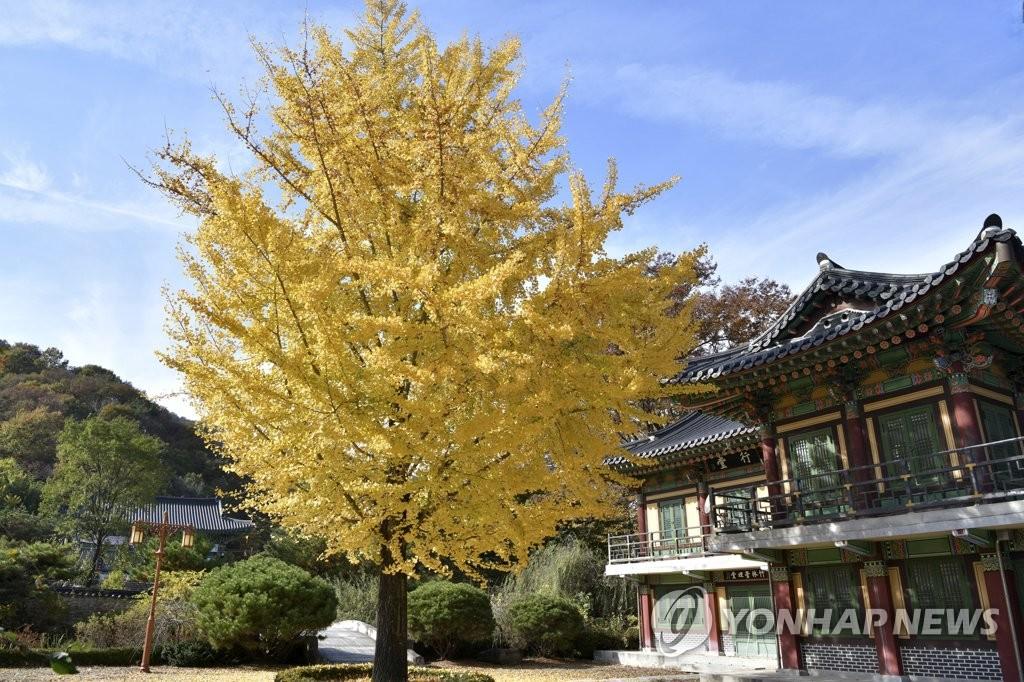 金色银杏树