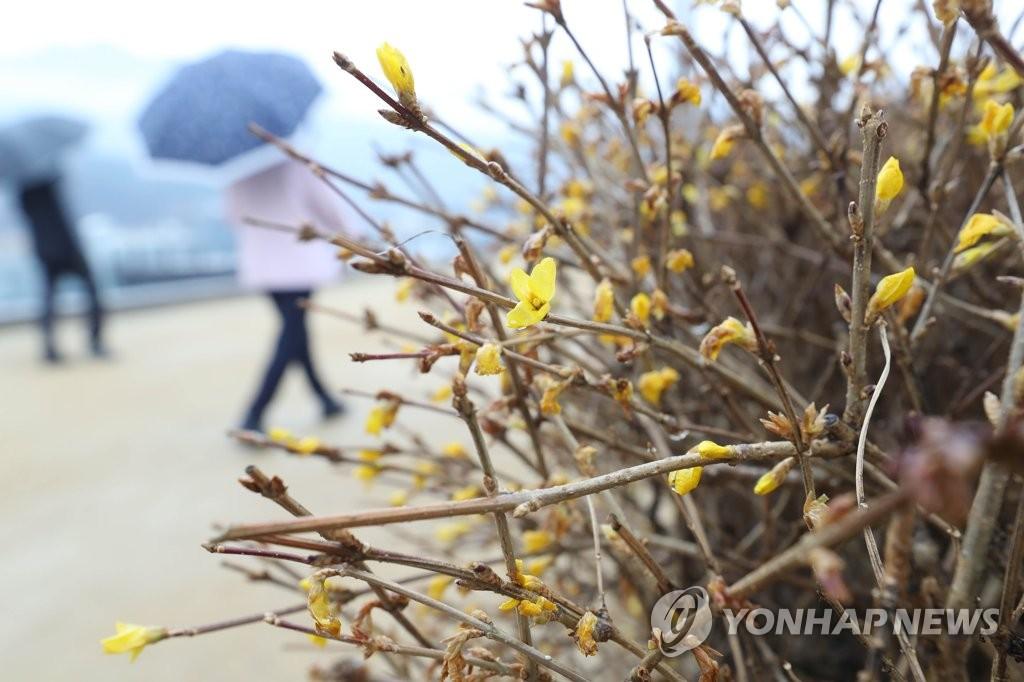 资料图片:迎春花冬季开放。 韩联社