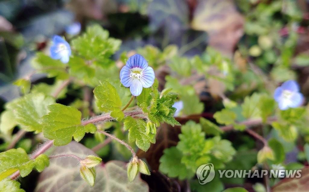 资料图片:1月10日,在江原道江陵市,路边的的野花在暖冬天气中提前绽放。 韩联社