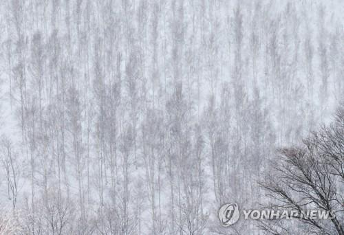 白桦林穿银装