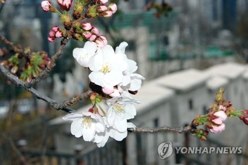 首尔樱花开花